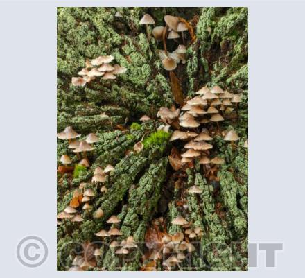 Clustered Bonnet Mushrooms
