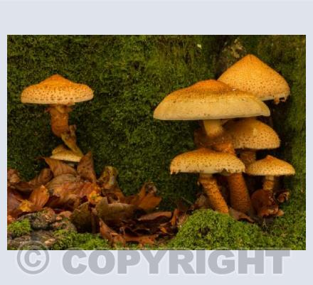 Shaggy Pholiota Mushrooms