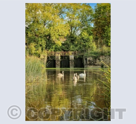 Fiddleford millpond swans