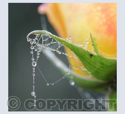 Dewdrops on Roses