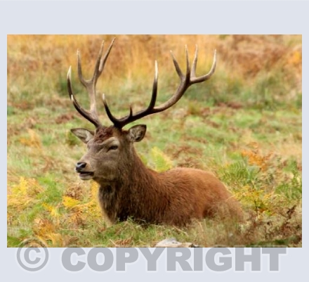 Head Stag