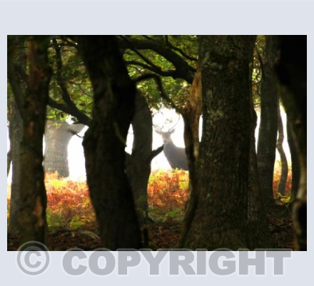 Stag Hiding in the Woods