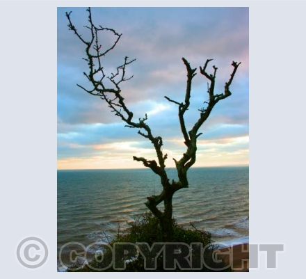 Sidmouth Tree