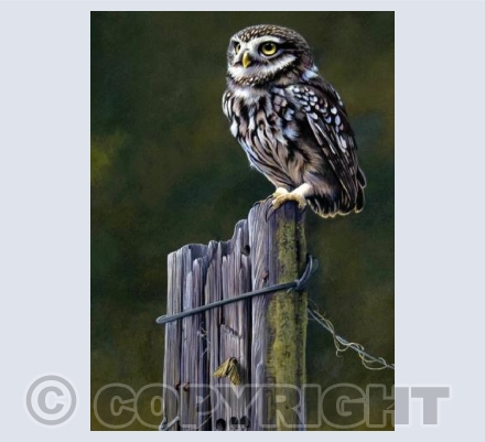 Little Owl Lookout