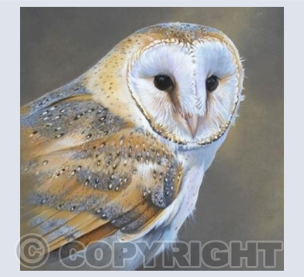 Barn Owl portrait square