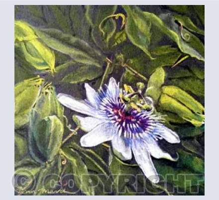 Passion Flower 1