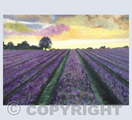 Lavender Fields in Kent