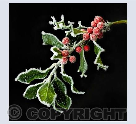 Frosty Holly