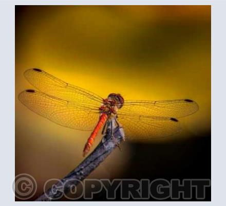 Dragonfly - Common Darter