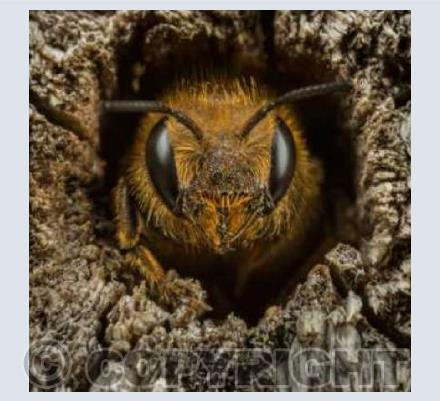 Female Mason Bee