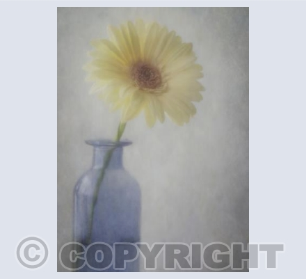 Gerbera in Blue Vase