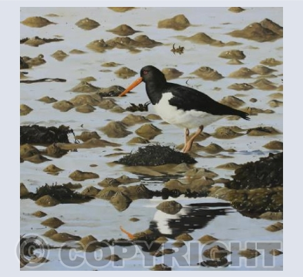 Oystercatcher- Low tide