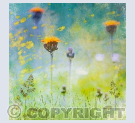 Impression Orange Hawkweed