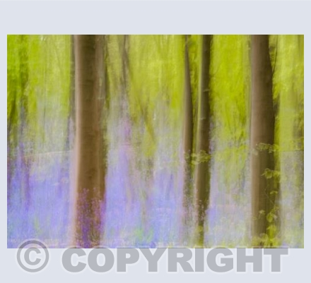 Beech wood with purple
