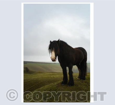 Shire horse on Eggardon Hill