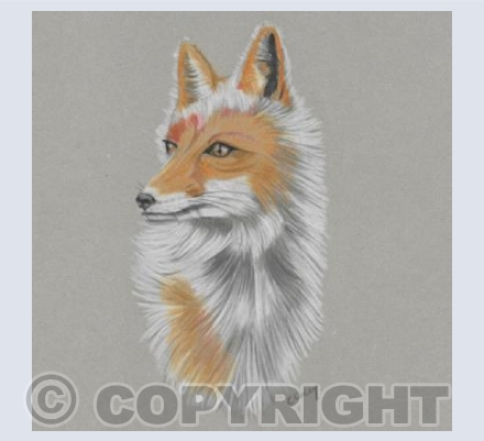 'Cotswold Fox'