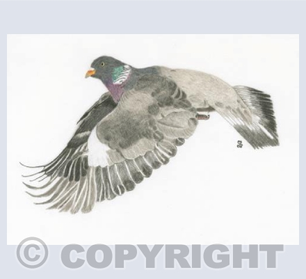 The Nurturing Wood Pigeon