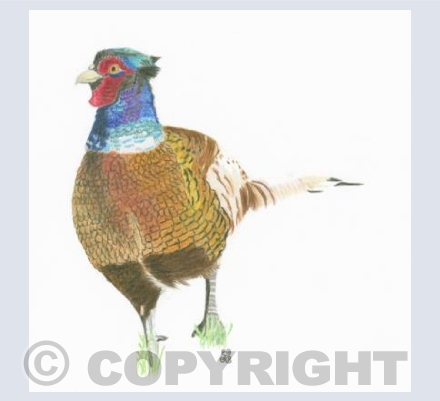 The Flamboyant Pheasant