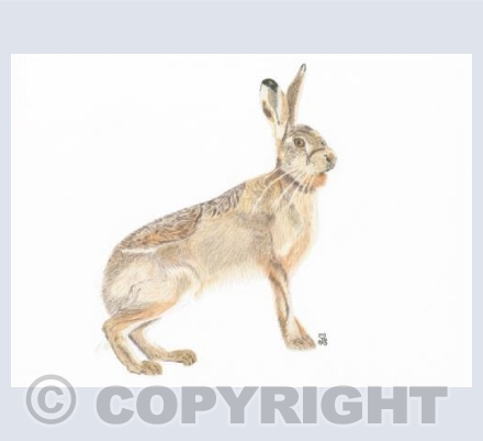 The Enigmatic Brown Hare