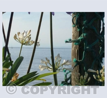 Agapanthus and Nets