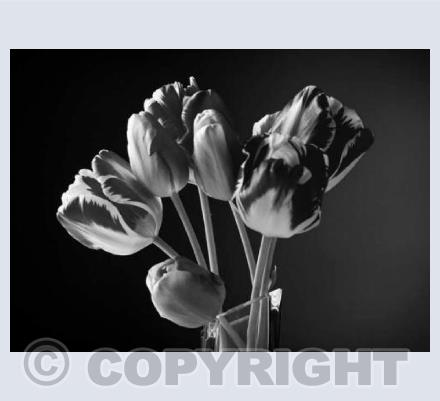 Tulips Two
