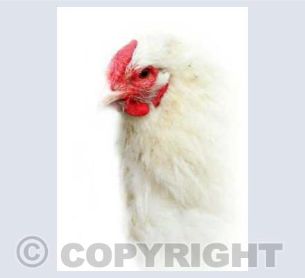 Portrait Of A Hen
