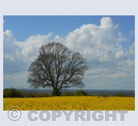 Tree and Yellow Field 1