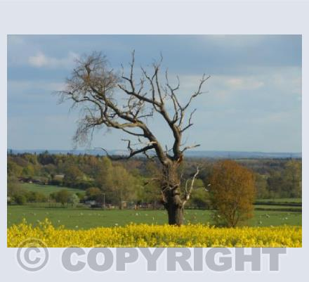 Lone Tree and Yellow Surrounds