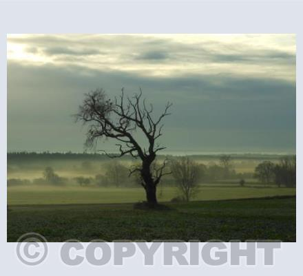 Lone Tree and Mist