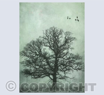 Oak and crows