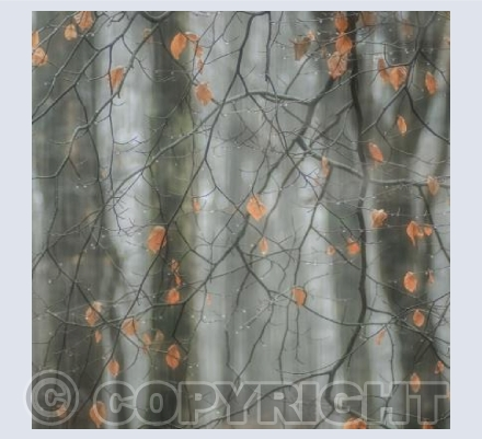 Beech leaves in rain