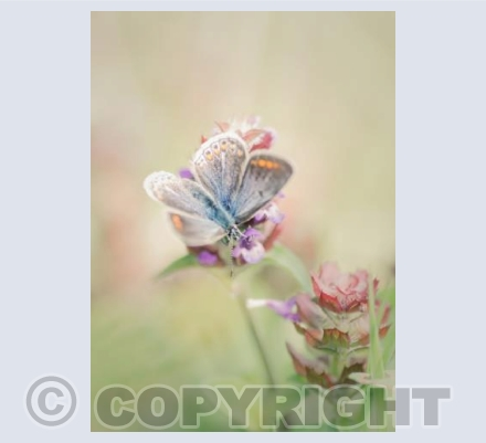common blue on self heal